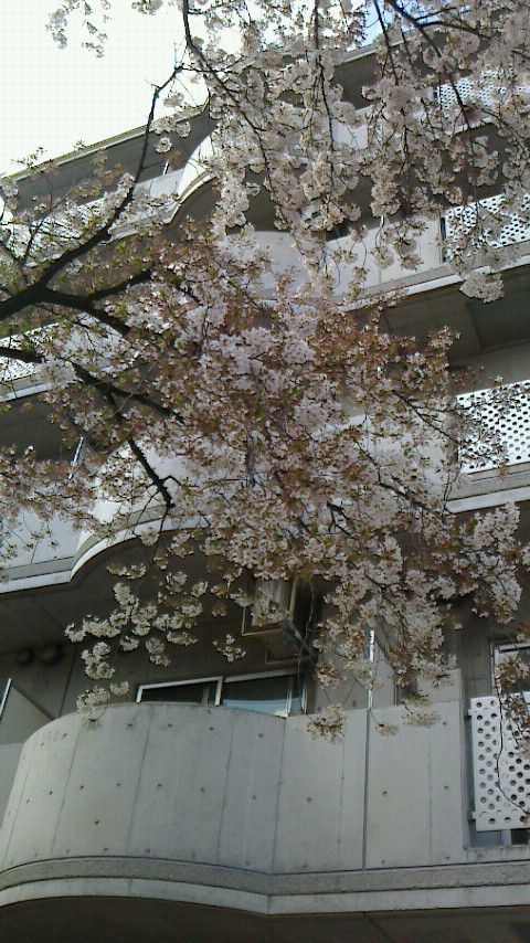 MK播磨坂桜並木